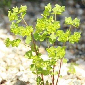 Photographie n°2201910 du taxon Euphorbia peplus L. [1753]