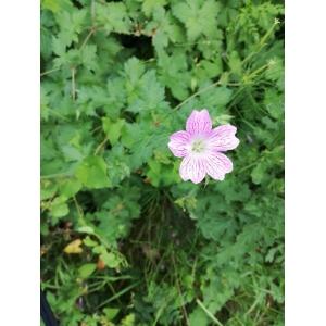 Geranium versicolor L. (Géranium bigarré)
