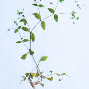 Photographie n°2201951 du taxon Stellaria media (L.) Vill. [1789]