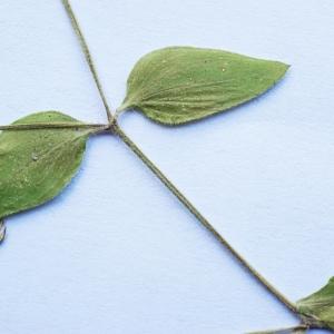 Photographie n°2201955 du taxon Stellaria media (L.) Vill. [1789]
