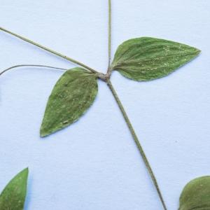 Photographie n°2201956 du taxon Stellaria media (L.) Vill. [1789]