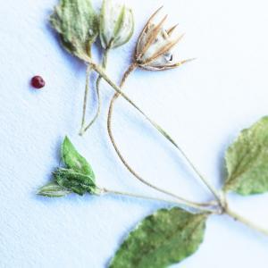 Photographie n°2201960 du taxon Stellaria media (L.) Vill. [1789]