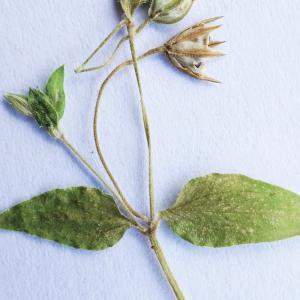 Photographie n°2201968 du taxon Stellaria media (L.) Vill. [1789]
