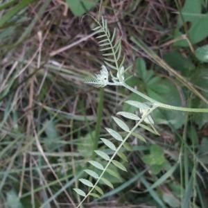 Photographie n°2202004 du taxon Vicia cracca L. [1753]