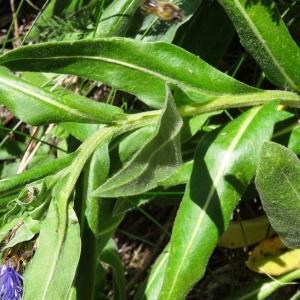 Photographie n°2202128 du taxon Cyanus graminifolius (Lam.) Olšavská [2009]