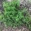 Polygonum aviculare L. [nn51363] par trecourtpascal@... le 13/06/2018 - Saint-Martin-d'Hères