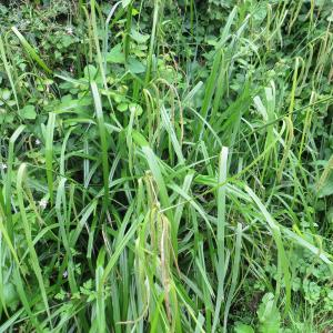 Photographie n°2202165 du taxon Carex pendula Huds.