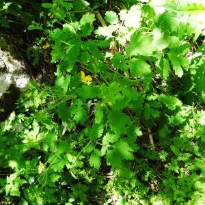 Photographie n°2202331 du taxon Chelidonium majus subsp. majus