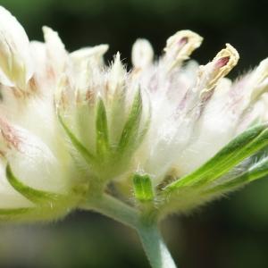 Anthyllis vulneraria subsp. alpestris (Kit.) Asch. & Graebn. (Anthyllide alpestre)