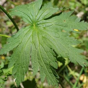 Photographie n°2202638 du taxon Geranium sylvaticum L. [1753]