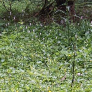 Photographie n°2202724 du taxon Bistorta officinalis Delarbre