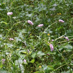Photographie n°2202725 du taxon Bistorta officinalis Delarbre