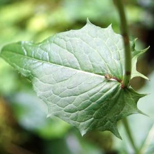 Photographie n°2202728 du taxon Crepis paludosa (L.) Moench [1794]