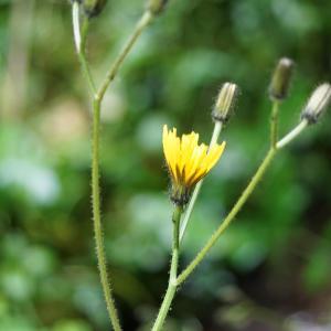 Photographie n°2202730 du taxon Crepis paludosa (L.) Moench [1794]