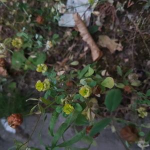 Photographie n°2202812 du taxon Trifolium campestre Schreb. [1804]