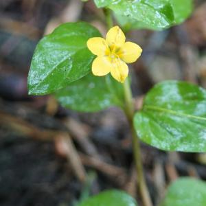 Photographie n°2202813 du taxon Lysimachia nemorum L.