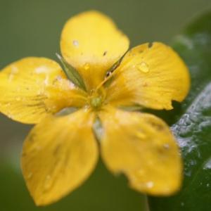 Photographie n°2202816 du taxon Lysimachia nemorum L.