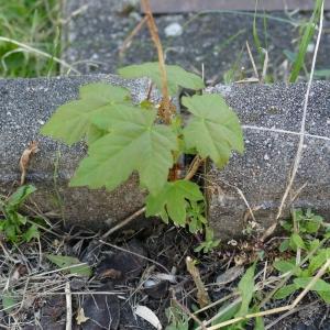 Photographie n°2202932 du taxon Acer pseudoplatanus L.