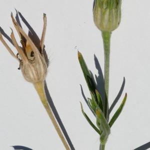 Photographie n°2202979 du taxon Agrostemma githago L. [1753]