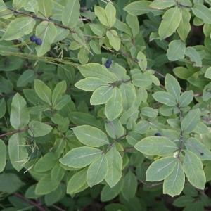 Photographie n°2202991 du taxon Lonicera nigra L. [1753]