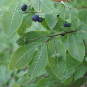 Photographie n°2202992 du taxon Lonicera nigra L. [1753]
