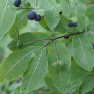 Photographie n°2202993 du taxon Lonicera nigra L. [1753]