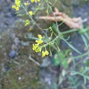 Photographie n°2203002 du taxon Rorippa sylvestris (L.) Besser