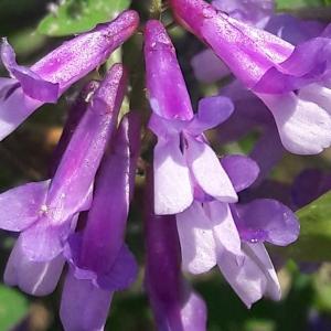 Photographie n°2203114 du taxon Vicia cracca L. [1753]
