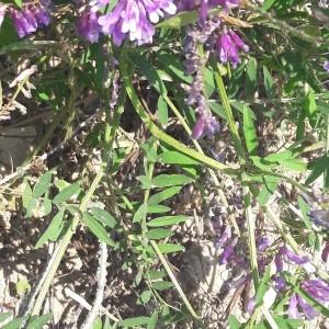 Photographie n°2203116 du taxon Vicia cracca L. [1753]