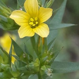 Photographie n°2203235 du taxon Linum strictum L.