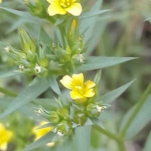 Photographie n°2203236 du taxon Linum strictum L.