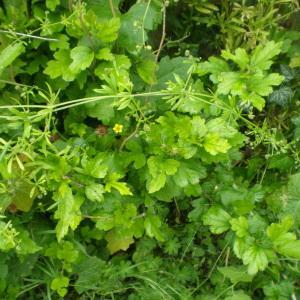 Photographie n°2203354 du taxon Gaillet grateron