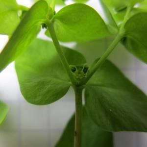 Photographie n°2203552 du taxon Euphorbia peplus L. [1753]