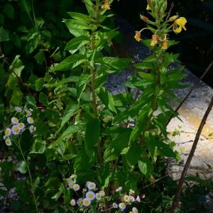 Photographie n°2203681 du taxon Oenothera biennis L. [1753]