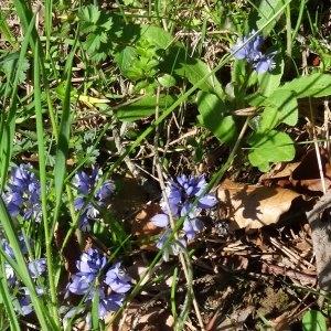 - Polygala alpestris subsp. alpestris