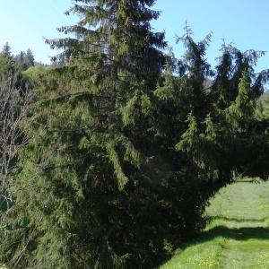 Photographie n°2203735 du taxon Picea abies subsp. abies