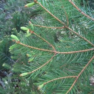 Photographie n°2203741 du taxon Picea abies subsp. abies