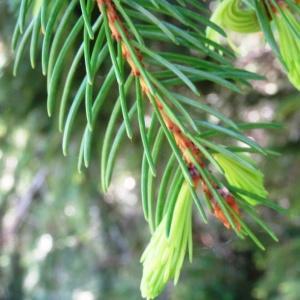 Photographie n°2203743 du taxon Picea abies subsp. abies