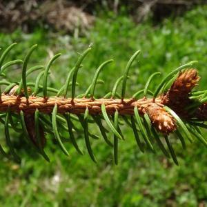 Photographie n°2203747 du taxon Picea abies subsp. abies