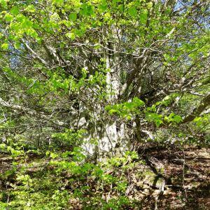 Photographie n°2203752 du taxon Fagus sylvatica L.
