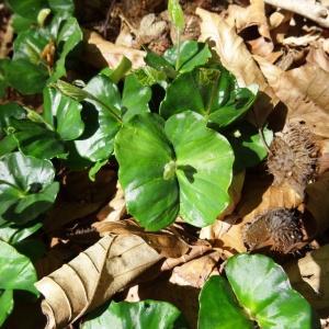 Photographie n°2203763 du taxon Fagus sylvatica L.