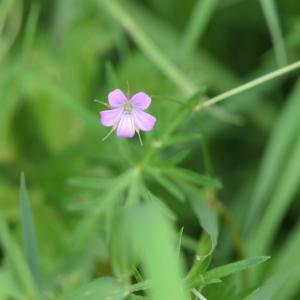 Photographie n°2204061 du taxon Geranium columbinum L.