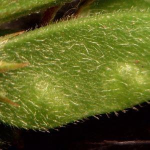 Photographie n°2204071 du taxon Vicia hirsuta (L.) Gray [1821]