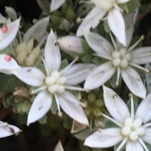 - Sedum hispanicum L. [1755]