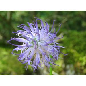 Phyteuma scheuchzeri All. (Raiponce de Scheuchzer)