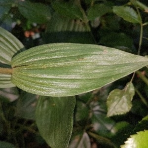 Photographie n°2204627 du taxon Epipactis helleborine (L.) Crantz [1769]
