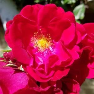 - Rosa gallica L.