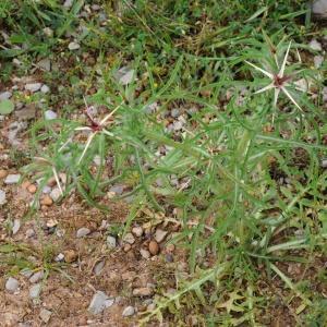 Photographie n°2204781 du taxon Centaurea calcitrapa L. [1753]