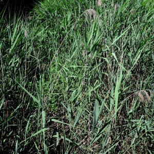 Photographie n°2205069 du taxon Phragmites australis (Cav.) Trin. ex Steud. [1840]