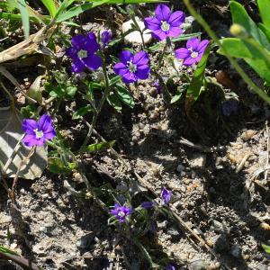 Photographie n°2205190 du taxon Legousia speculum-veneris (L.) Chaix